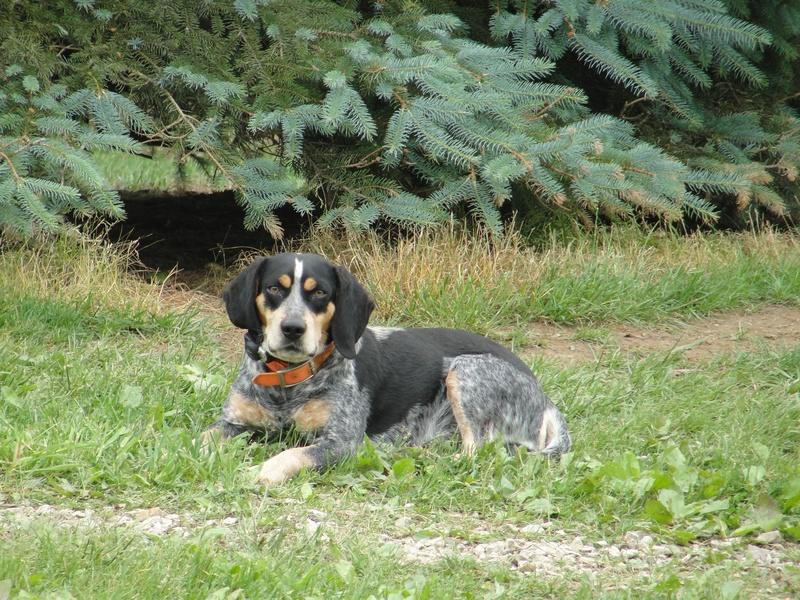 Home Leos Bluetick Beagles