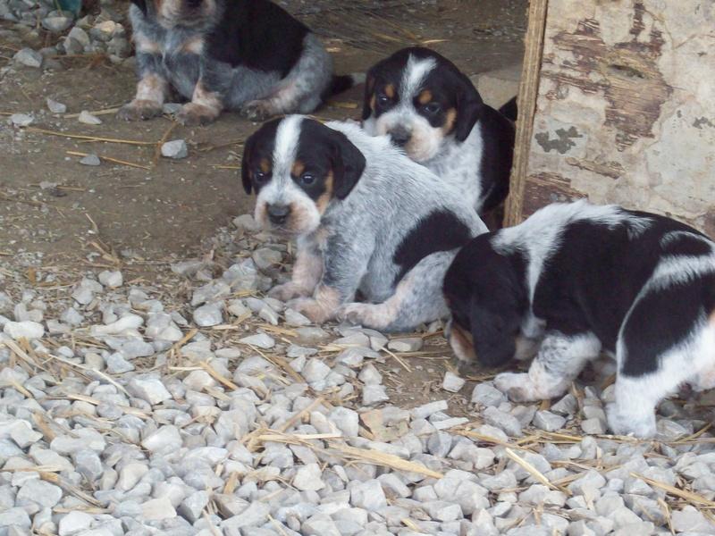 Puppies Leos Bluetick Beagles