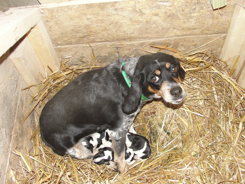 Belle With Puppies Leos Bluetick Beagles